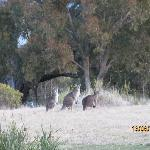 Wild Kangaroos in your front/back yard