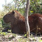 spotted many Capybaras