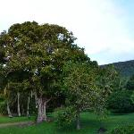  200 year old mango tree