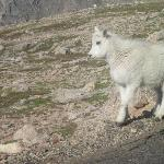 Baby Rocky Mountain Goat