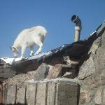  Goat on a Hot Tin Roof