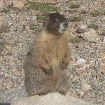  Hungry Marmot