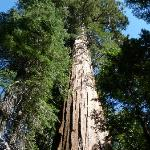 Giant sequoias!