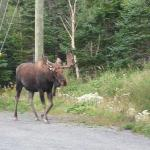 A moose sauntered into the parking lot of the Red Mantle Lodge! Moose was also on the dinner men