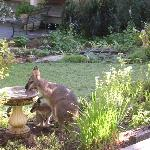 Wallaby and Joey in Courtyard