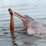 Swimming with pink river dolphins