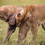  young male lions fighting over the head of their kill