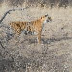 ranthambhore tiger