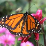 monarch visiting the garden