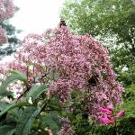  Joe Pye weed