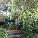  The willow tree that shades the patio