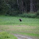 Male bear on the meadow in front of the lodge