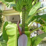  Banana Tree near our room