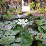 Lotus flower in garden