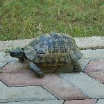 Turtles, who live under houses, walking