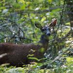  Deer in the Forest at Mounthaven Resort...