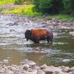 Bison crossing Slough Creek at campground