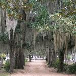  Moss covered trees in Live Oak Cemetery