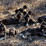  Wild Dogs aplenty