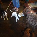 Jack Russell meets Labradoodle in the pub