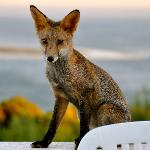  Fox on the balcony of our windmill