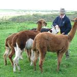  The owner feeding his Alpacas