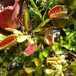  The venus fly trap waiting on prey