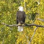An Eagle on the Wabigoon River