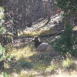  Cow elk I believe