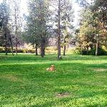  Dog in Tumalo Park day use area, Deschutes River in background