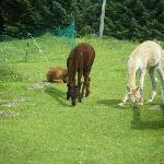  The alpacas having some nibbles :)