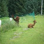  The alpacas :)