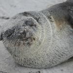 an artic seal resting