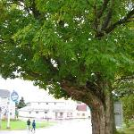 Sugar maple tree in the front yard