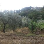 Olive trees and the vineyard