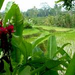View of the rice paddies from Villa Sebali