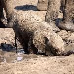 Baby Elephant at the waterhole