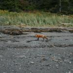 fox on the beach