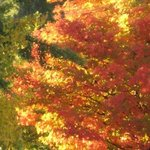The glorious sugar maple is right out your window and steps away. Come and bring your camera!