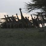 While walking we were observed by many giraffes