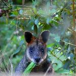Wallaby in the garden