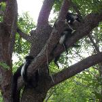 the angola colobus monkey