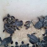 Baby turtles that are released each evening