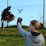 Thelma the hawk landing on our arms - awesome!