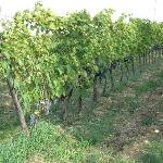  Vinyard at Podere Campriano, ready for harvest