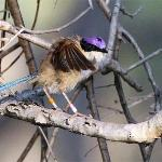  The Purple-crowned fairy-wren is under study here
