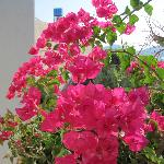 Bouganvillea on the terrace