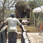 Elephant visits one of the swimming pools at Mfubu Lodge
