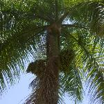 Another palm tree with fruit