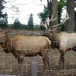 An elk couple